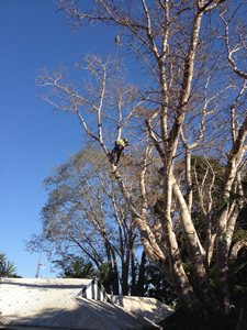 Tree removal Noosa, tree arborist Noosa, tree pruning Noosa, in touch tree servicecontacts Noosa