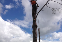 noosa tree removal, noosa arborist and tree pruning noosa